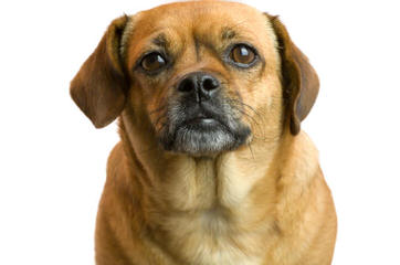 New And Improved Pugs: Puggle Puppies! - Dog Breeders