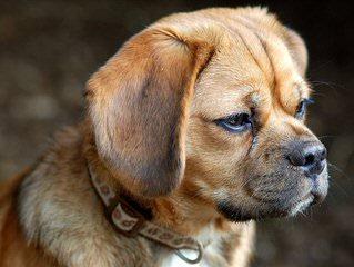 Labbes (Mini Labs) - Dog Breeders