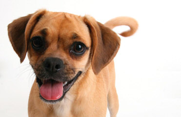 Pocket Puggle - Dog and Puppy Pictures