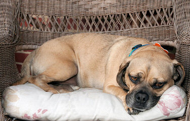 Puggle Puppies For Sale / Puggle Dog Breeders