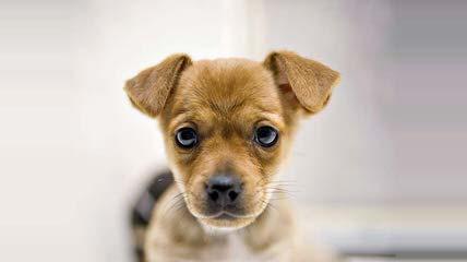 Puggles For Sale – Puggle - Dog Breeders