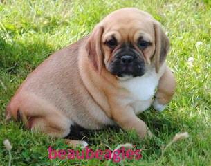 Pocket Puggle - Dog Breeders