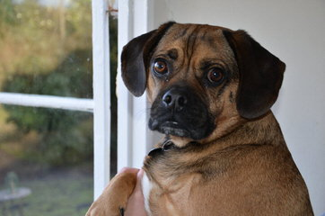 Puggles, Pocket Puggles, Mini-Boxers, Teddy Bears And Other Custom Hybrid Breeds - Dog Breeders