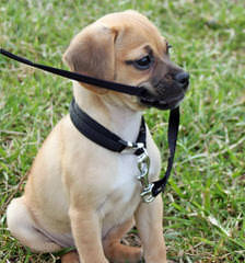 Denning Farms Puggle - Dog Breeders