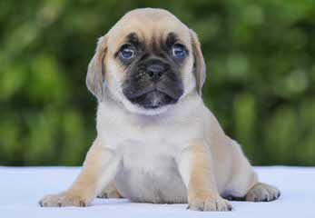 Puggle Puppies Ready Now! - Dog Breeders