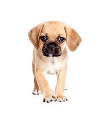 Boglen Terriers, Puggles - Dog Breeders