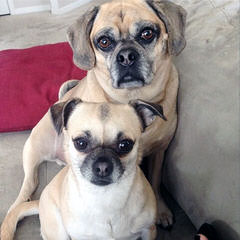 Denning Farms Puggle - Dog and Puppy Pictures