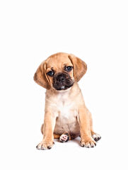 Male Pug Looking For Female - Dog Breeders