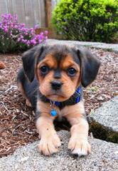 Cuddle Puppies Available! - Dog Breeders