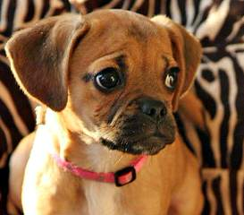 Puggles, Yorkie's & More - Dog and Puppy Pictures