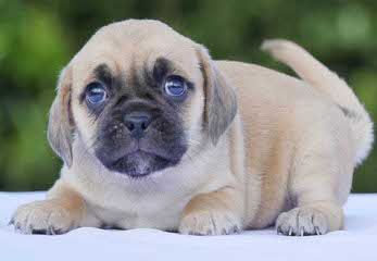 Cuddle Puppies Now Available! - Dog Breeders