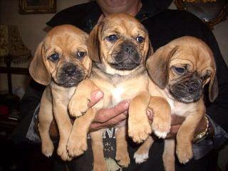 Puggles, Pocket Puggles, Mini-Boxers, Teddy Bears And Other Custom Hybrid Breeds - Dog Breeders