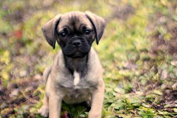 Puggle Pups From Akc Parents - Dog Breeders