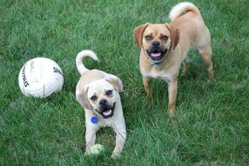 9M Old Puggle, Free 4 Good Home - Dog Breeders