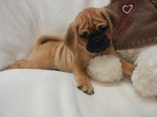 New England Snuggle Puggles! - Dog Breeders