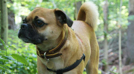 Puggles, Yorkie's & More - Dog Breeders