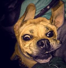 Smallest Pocket Puggles - Dog and Puppy Pictures