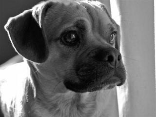 Pocket Puggle - Dog Breeders