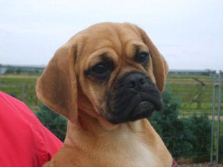 Puggle Puppies - Dog Breeders