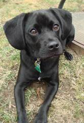 Denning Farms Puggle - Dog Breeders