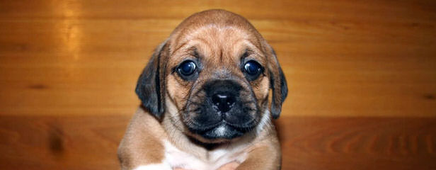 9M Old Puggle, Free 4 Good Home - Dog Breeders