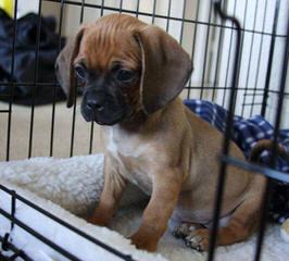 Snuggle Puggles - Dog Breeders