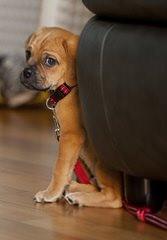 Mini St Bernards - Dog Breeders