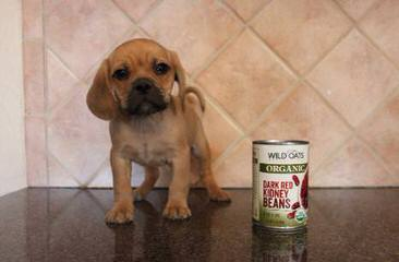 Perfect Puggle Puppies Available - Dog Breeders