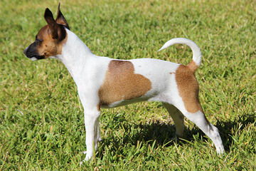 Ratchi Puppy - Dog Breeders