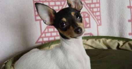 Rat-Cha Puppies! - Dog Breeders