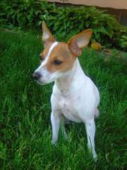 Chihuahuas, Rat-Chas, And Rat-Cresteds - Dog Breeders