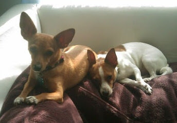 Chihuahuas, Rat-Chas, And Rat-Cresteds - Dog and Puppy Pictures