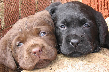 Rottle Dogs and Puppies