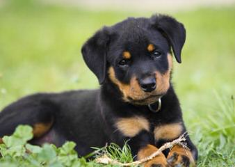 Redyre Rottweilers - Dog and Puppy Pictures