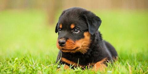 Vom Rommelfaenger Rottweilers - Dog Breeders