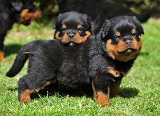 Natural Born Bobtail Rottweilers - Dog Breeders