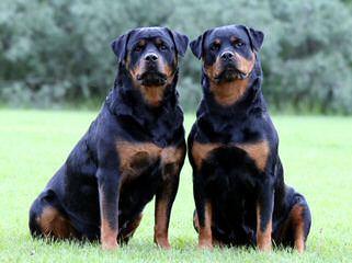 Dogue De Bordeaux/Rottwieler - Dog Breeders