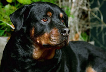 Rottweiler Puppies For Sale / Rottweiler Dog Breeders