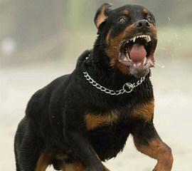 Elswick Rottweilers - Dog Breeders