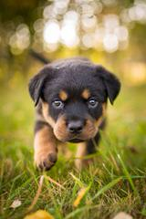 Offenburgher Reg. Rottweilers - Dog Breeders