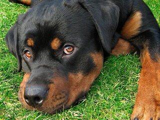 World Class Rottweilers - Dog Breeders