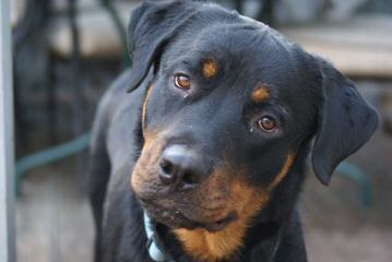 Solape's Rottweilers - Dog Breeders