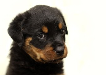 Vaccaro Rottweilers - Dog Breeders