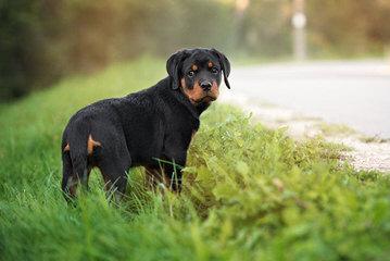 Rottweiler Puppies - Dog Breeders