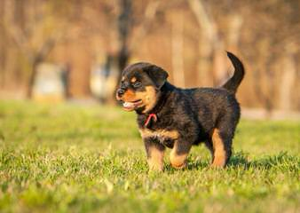 Rotts Bullmastiff/Stud Service And Puppies - Dog Breeders