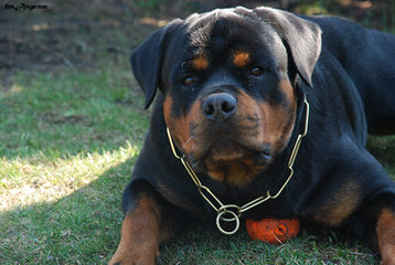 Rottweiler Pups 4-Sale - Dog Breeders