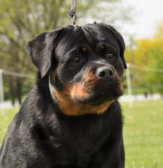 Gold Hill Rottweiler Kennels - Dog Breeders