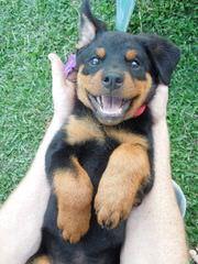 Offenburgher Rottweilers - Dog Breeders