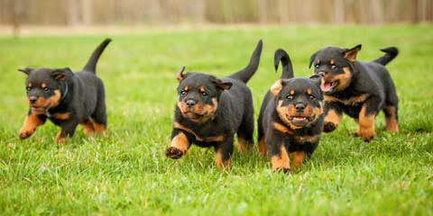 doglord kennels - Dog Breeders