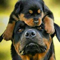 German Rottweiler Stud For Hire - Dog Breeders